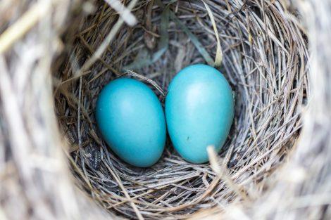 Vogelnest mit zwei Eiern