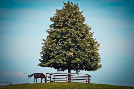 Schwarzes Pferd neben blühendem Baum